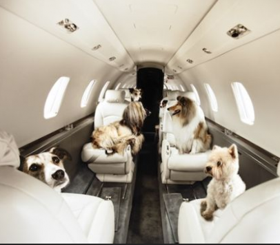Encore french bulldogs traveling with french bulldogs by for Traveling on a plane with a dog